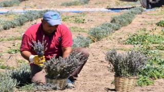 Aksaray Belediyesi Lavanta Bahçesinde İlk Hasadı Gerçekleştirdi